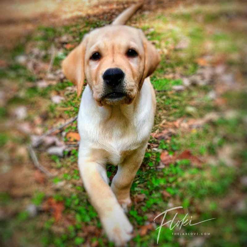 Floki The Labrador Retriever Puppy